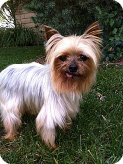 Yorkie, Yorkshire Terrier Dog for Sale in Irvine, California - FREDDIE, tiny 3 lbs