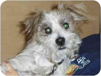 Terrier (Unknown Type, Small) Mix Dog for adption in Fresno, California - Cambridge
