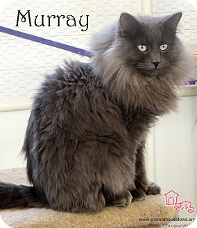 Domestic Longhair Cat for adoption in St Louis, Missouri - Myron