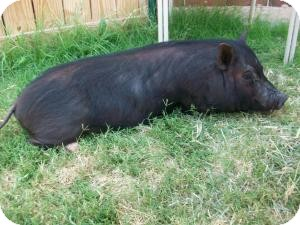 Pig (Potbellied) for Sale in Sand Springs, Oklahoma - Ezra
