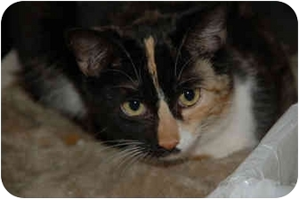Calico Cat for adoption in Grafton, West Virginia - Dixie