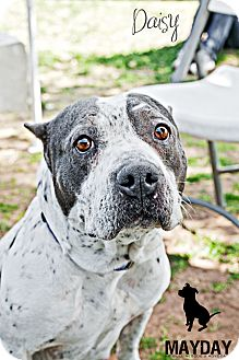 American Pit Bull Terrier Mix Dog for adption in Phoenix, Arizona - Daisy
