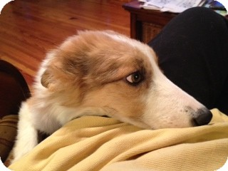 Sheltie, Shetland Sheepdog/Border Collie Mix Dog for Sale in Marietta, Georgia - Chance