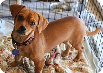 Dachshund/Chihuahua Mix Dog for Sale in Chandler, Arizona - Mary Ann