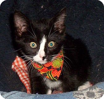 Domestic Shorthair Cat for adoption in Knoxville, Tennessee - Sebastian