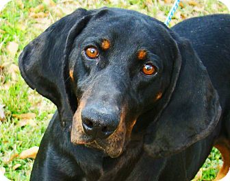 Coonhound Dog for adption in Groton, Massachusetts - Beauford T.
