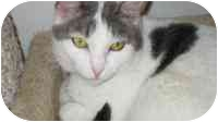 Domestic Shorthair Cat for adoption in Culver City, California - Jody