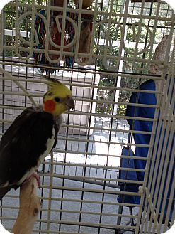 Cockatiel for Sale in Punta Gorda, Florida - Toto