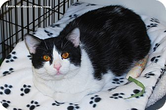 Domestic Shorthair Cat for Sale in Lincoln, Nebraska - Mikey