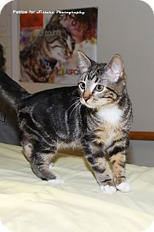 Domestic Shorthair Kitten for Sale in Lincoln, Nebraska - Mittens