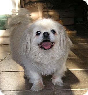 Pekingese Dog for adption in Phoenix, Arizona - DOUGIE