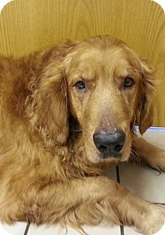 Golden Retriever Dog for Sale in Brattleboro, Vermont - Telly