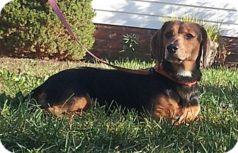 Dachshund/Beagle Mix Dog for Sale in West Bridgewater, Massachusetts - Lucy