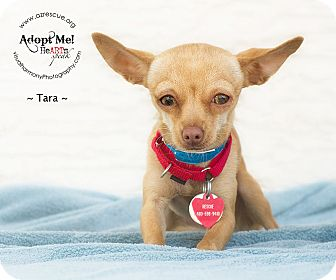 Chihuahua Dog for Sale in Phoenix, Arizona - Tara