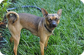 Miniature Pinscher/Chihuahua Mix Dog for Sale in Studio City, California - Dot