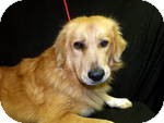 Golden Retriever Mix Dog for Sale in Manchester, Connecticut - LEO  in ct