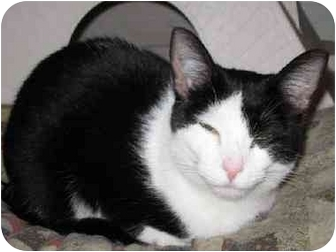 Domestic Shorthair Cat for adoption in Hamilton/Selkirk, Ontario - Armondo