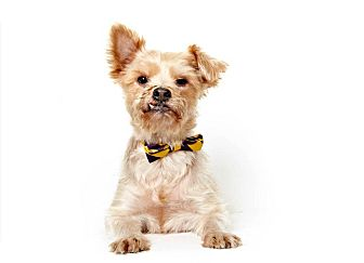 Yorkie, Yorkshire Terrier Mix Dog for Sale in New York, New York - Gareth