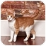 Photo 1 - Domestic Shorthair Cat for adoption in Owensboro, Kentucky - Bob