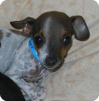 Chihuahua Puppy for adption in Phoenix, Arizona - Kobe - burger brother