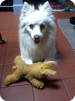 American Eskimo Dog/Pomeranian Mix Dog for adption in Mahopac, New York - Sammy