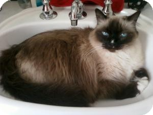 Himalayan Cat for Sale in Prescott, Arizona - Sassy