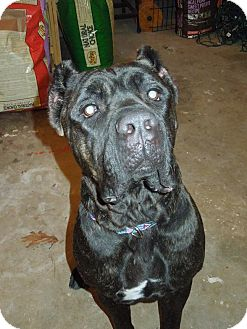 Cane Corso Rescue Virginia Beach