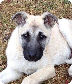 German Shepherd Dog Mix Puppy for Sale in Torrance, California - ERNIE