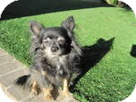 Chihuahua Dog for adption in Gilbert, Arizona - Zoey