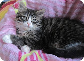 Domestic Longhair Kitten for Sale in N. Billerica, Massachusetts - Tom Thumb