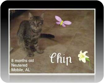 Domestic Mediumhair Cat for Sale in Mobile, Alabama - Chip