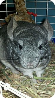 Chinchilla for Sale in Selden, New York - Buttercup