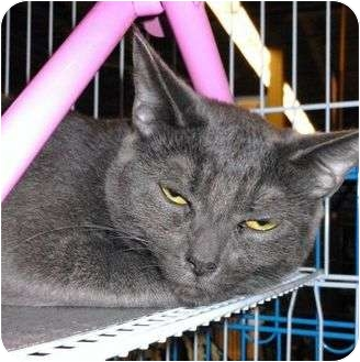 Domestic Shorthair Cat for adoption in Petersburg, Virginia - Misty & Midnight