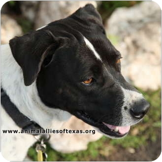 Labrador Retriever Mix Dog for adption in Garland, Texas - Seven