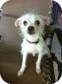 Chihuahua/Terrier (Unknown Type, Small) Mix Dog for adption in Garland, Texas - Riley