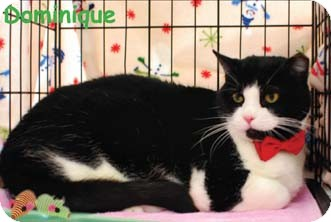 Domestic Shorthair Cat for adoption in Merrifield, Virginia - Dominique