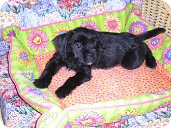 Terrier (Unknown Type, Small) Mix Puppy for Sale in New Castle, Pennsylvania -