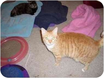 Domestic Shorthair Cat for adoption in Hesperia, California - Lizzy