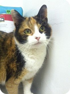 Calico Cat for Sale in Huntington, New York - ANNA
