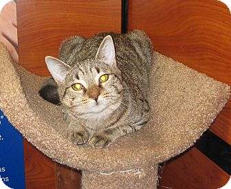 Domestic Shorthair Cat for adoption in Farmingdale, New York - Millie