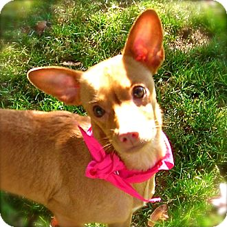 Chihuahua Mix Dog for Sale in El Cajon, California - Pinki