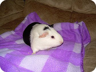 Guinea Pig for Sale in johnson creek, Wisconsin - Mississippi