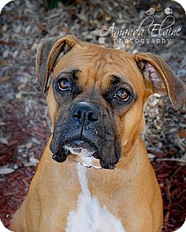 Boxer Mix Dog for Sale in Granbury, Texas - Lucy