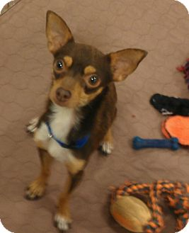 Chihuahua Dog for Sale in Phoenix, Arizona - Jagger - yes, he has the moves