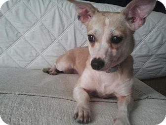 Chihuahua Mix Dog for Sale in Los Angeles, California - Ruby- perfectly trained/calm