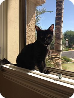 Domestic Mediumhair Kitten for Sale in Mesa, Arizona - Wolf