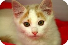 Domestic Shorthair Kitten for Sale in Mesa, Arizona - Vincent