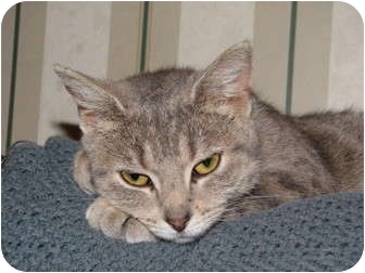 Domestic Mediumhair Cat for adoption in crofton, Maryland - Abby REDUCED