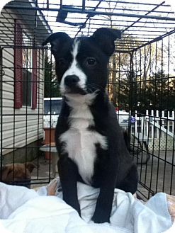 Border Collie Mix Puppy for Sale in Newtown, Connecticut - Ophelia