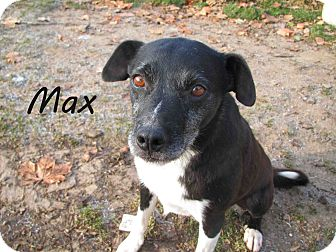 Border Collie Mix Dog for Sale in Hamilton, Montana - Max